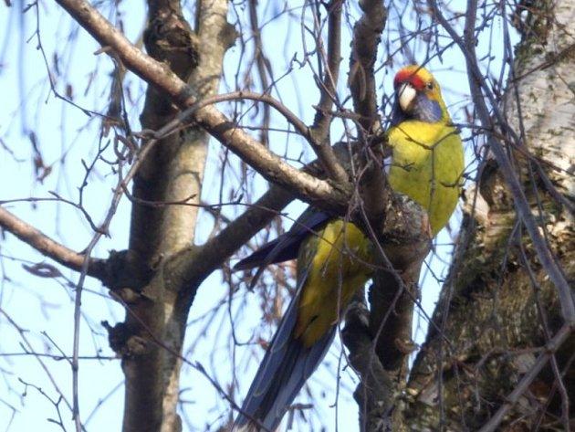 Rosela žlutobřichá je robustní pták, který dobře snáší naše klimatické podmínky.