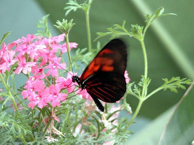 V Arboretu se mohou pyšnit unikátní výstavou tropických motýlů.