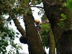 Velkou smůlu měl ve středu večer zhruba třicetiletý muž, který se svým kolegou v koruně statného stromu v Dobroslavicích ořezával větve. Jedna z těch opravdu silných ho při pádu zranila na paži a dotyčný se nemohl sám dostat dolů.