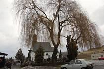 Smuteční vrby u hřbitova v Hradci nad Moravicí.