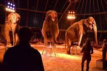 Slonice podle ředitele cirkusu nejvíce lákají diváky.