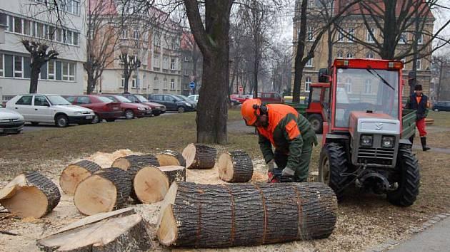 Lípa srdčitá. Tento strom skáceli ve středu a ve čtvrtek pracovníci Technických služeb Opava, s.r.o., na Denisově náměstí v Opavě.