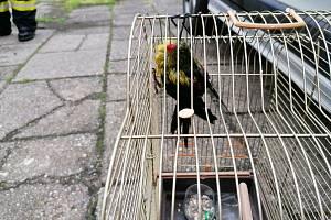 Odchyt papouška v Hlučíně.