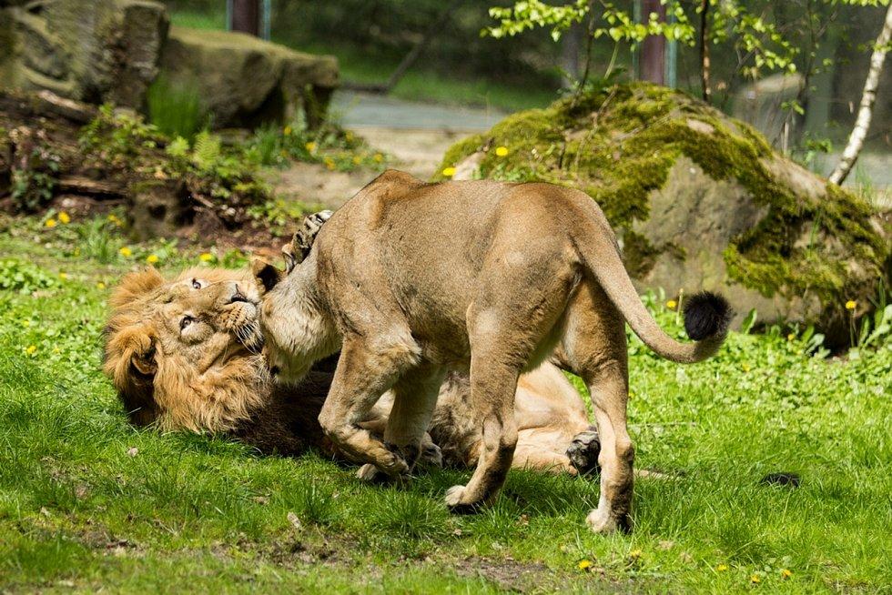 Lvi indičtí v Zoo Ostrava.