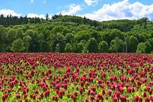 Rozkvetlá pole plná jetele na Hlučínsku.