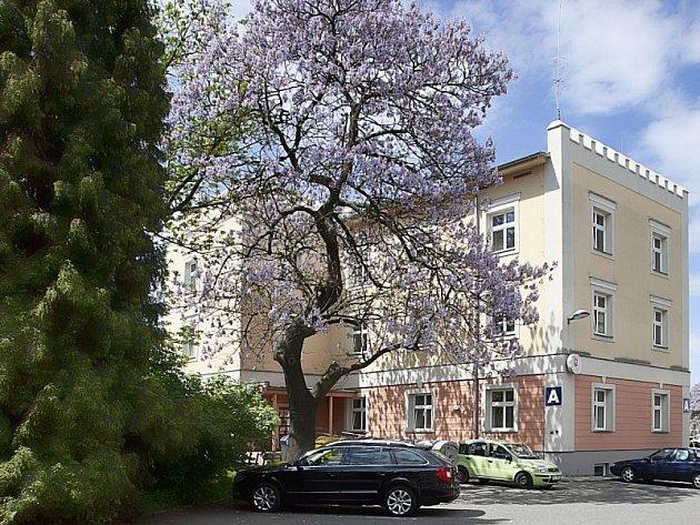 Všimli jste si nádherně kvetoucího stromu na dvoře magistrátu v Krnovské ulici?