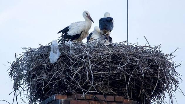Komín bývalé fabriky na výrobu lepenky ve Skrochovicích je oblíbeným hnízdištěm čápů. Ti zdejší hnízdo vyhledali také v tomto roce. Už dávno ho ale neobývají pouze dva vzrostlí černobílí opeřenci.