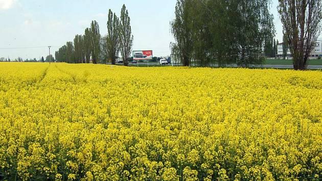 Na stále více polích roste řepka olejka. Tato rostlina se už brzy zřejmě bude přidávat do nafty.