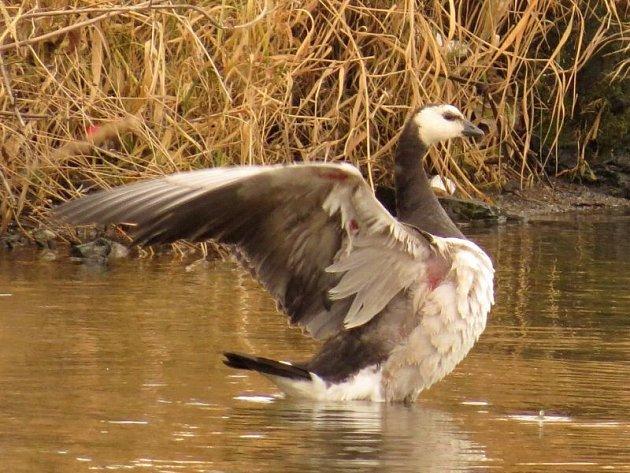 Radost ornitologů zvzácné návštěvy  bernešek bělolících na hlučínské štěrkovně zkalil fakt, že jednoho zptáků nejspíše poranil nezodpovědný lovec.