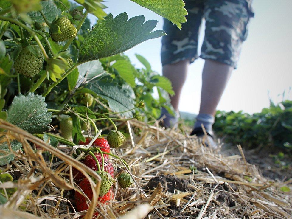 Jahody dozrály v letošním roce díky teplému počasí dříve. Ilustrační foto.
