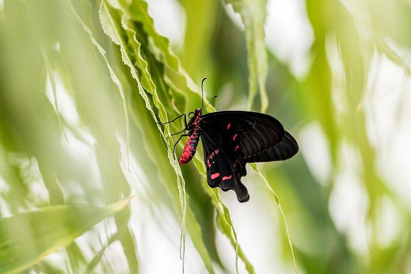 Okouzlení exotickými motýly můžete zažít v Arboretu Nový Dvůr letos již pojedenácté.