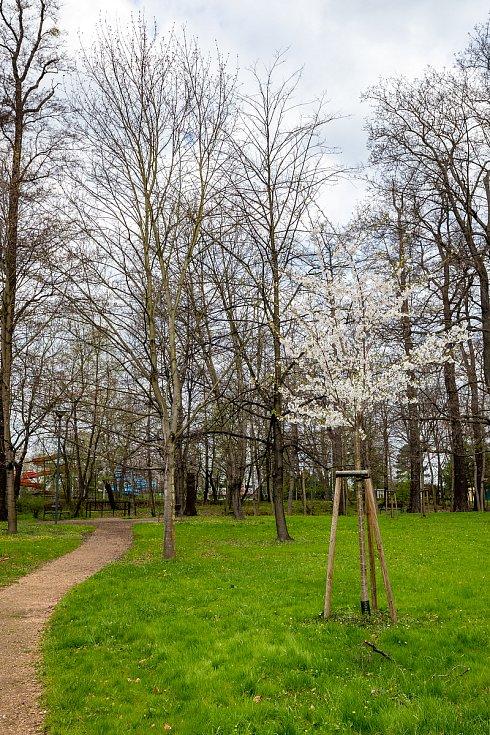 Opava, kvetoucí stromy a příroda. Duben 2021.