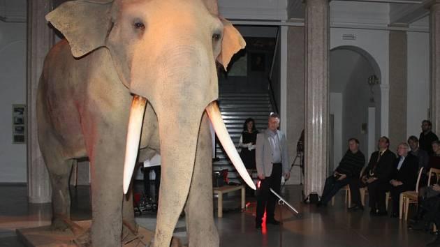 Slon indický ve Slezském muzeu. Ilustrační foto.