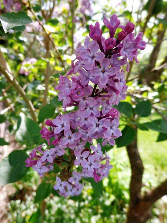 Které opavské názvy tyto květinky ukrývají?