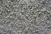Hladinu řeky Opavice v těchto dnech pokryly tisíce bílých květů lakušníku vzplývavého, který je příbuzným pryskyřníků.