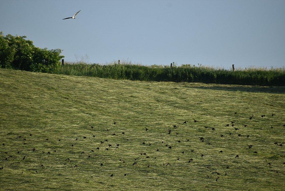 Pokosená louka funguje jako prostřený stůl, na kterém hoduje spousta ptačích druhů současně.
