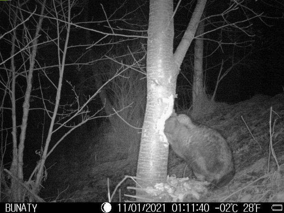 Pavel Varmus v Branticích na břehu řeky Opavy nalíčil fotopast. Díky tomu si můžeme brantického bobra prohlédnout při práci.