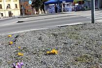 Jaro je tady, vzkazují obyvatelům Vrbna pod Pradědem žluté a fialové krokusy, které vyrostly u kruhového objezdu.