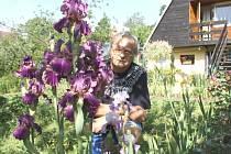 Největší chloubou pěstitele Petra Masopusta jsou v půli června na jeho pozemku v Mezině vzrostlé různobarevné kosatce.