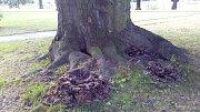 Vějířovec roste z kořenů památného buku před krnovským kinem Mír. Odborníci buk zalévají kyselinou boritou a doufají, že to zpomalí růst obávané dřevokazné houby.
