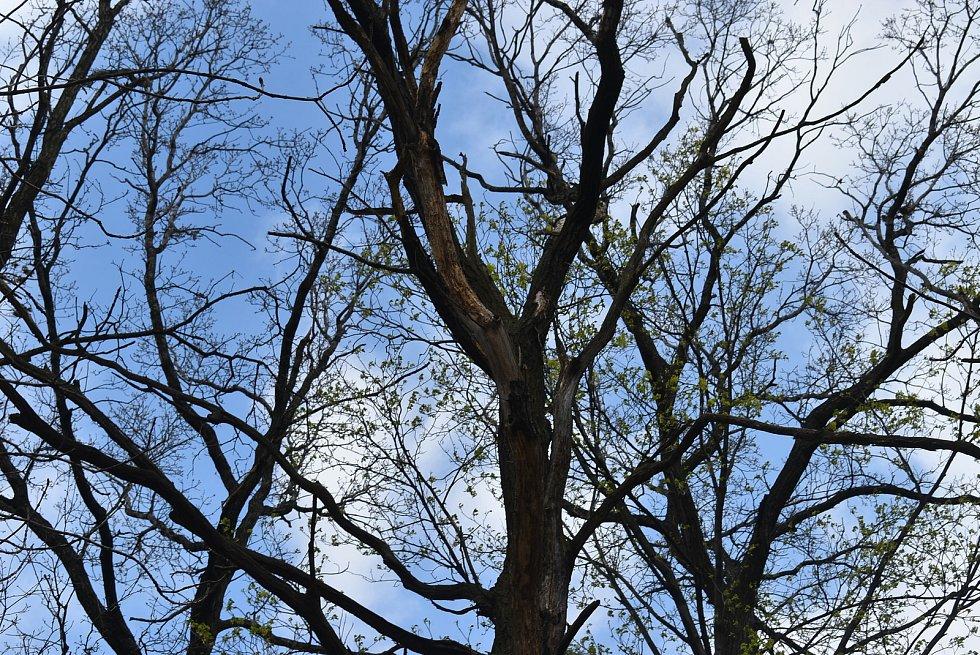 Revírník zdůvodnil pokácení třísetletého krnovského dubu tím, že padající suché větve v lese ohrožovaly zdraví lidí. Stal se les díky tomuto zákroku bezpečným místem? Posuďte sami. Stav dne 3. května 2021.