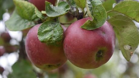 Spolek Slezské odrůdy přišel s nápadem představit Krnovanům starý sad u čističky, aby nezapomněli, jak se pěstovalo ovoce za časů našich babiček.  Staré jabloně zde mají bohatou úrodu i bez chemického ošetření.