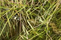 Užovku obojkovou každý hned pozná podle žlutého obojku. Užovka podplamatá je daleko vzácnější. Fotograf potřebuje obrovské štěstí, aby zachytil jejich mezidruhové setkání v přírodě.