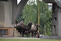 Areál Městských lázní v Krnově má zajímavé využití. Slouží cirkusu jako pastviny. Zatímco na Pradědu spásají louky poníci a krávy, a v centru Krnova zase lamy a velbloudi.