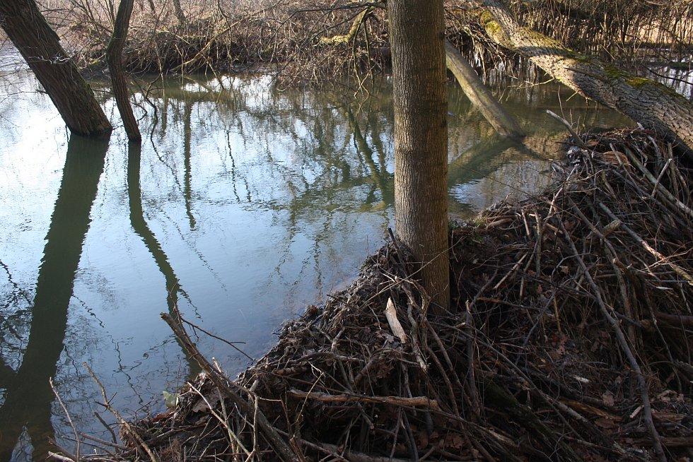 Řeka Lužná u Slezských Rudoltic se začíná měnit. Bobři zde budují hráze, aby zvýšili hloubku vody. Jde o první bobří hráze v okrese Bruntál.