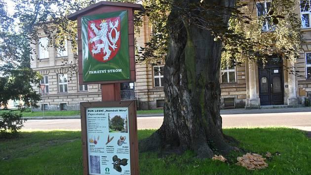 VĚJÍŘOVEC OBROVSKÝ neboli trsnatec je nádherná houba. Bohužel pro památkově chráněný buk lesní v centru Krnova je to také infekce, která ho v dohledné době zahubí.