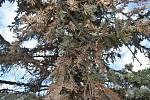 Vánoční strom na krnovském náměstí má rezaté jehličí a opadává. Není to kůrovec, ale mšice smrková.