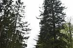 Jedle Vévodkyně je vysoká 44 metrů, obvod kmene má 4,4 metru. Zřejmě jde o největší strom v Jeseníkách.