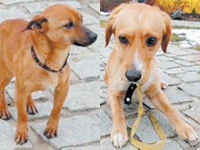 Vlevo: Kříženec, který byl v Krnově nalezen 27. února. Vpravo: Dvouletý pes byl 1. března při odchytu agresivní vůči strážníkům i u veterináře. V útulku brzy zkrotl, takže nyní je vůči lidem jen nedůvěřivý.