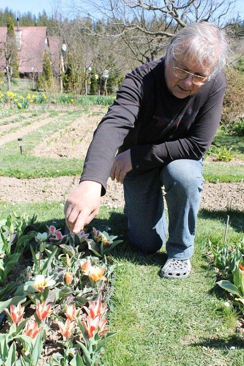 Petr Masopust se skalkovými tulipány, které sám vypiplal v zahrádkářské osadě Mexiko v Mezině.