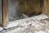 Poštolka snáší na bruntálském Petrinu obvykle tři až sedm vajec. Mezi vylíhnutím prvního a posledního mláděte může uplynout i několik dnů.