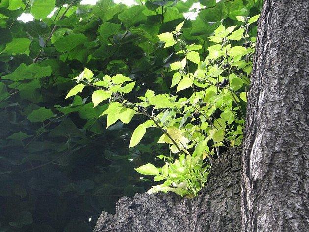 Rulík zlomocný je považován za nejnebezpečnější středoevropskou rostlinu. Tuto smrtelně jedovatou bylinu a její plody podobné černému rybízu si mohou krnovské děti prohlédnout před školou. Do kontaktu přijdou jen pohledem, roste v korunách lipové aleje.