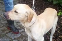 Asi dvouletý pes byl nalezený přivázaný ke stromu v lese u Krnova. V útulku mu dali jméno Settie.