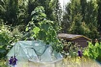 Vydrží obří slunečnice ve Slezských Rudolticích až do sklizně? Už se naklání vlastní vahou, ale kořen to zatím zvládá.