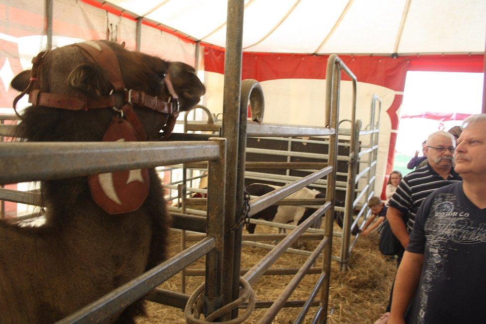 Cirkus Šimek v Krnově i v Bruntálu pozval publikum také do svého zvěřince. Každý se mohl přesvědčit, jak je o cirkusová zvířata postaráno mimo manéž, jaké mají klece, ustájení a výběhy.