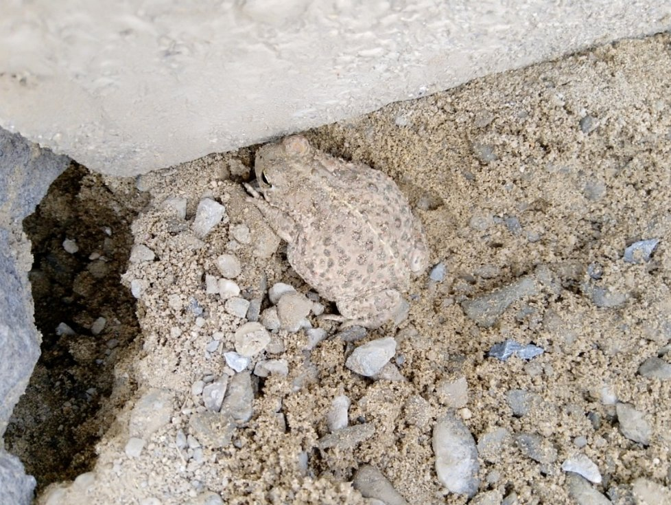 Ropucha krátkonohá je nejvzácnější česká žába reálně ohrožená vyhynutím.