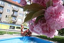 Třešně na krnovském náměstí Hrdinů byly na 1. máje už téměř odkvetlé. Sousední sakury ještě měly květů dost, ale okvětní lístky už také začaly opadávat.