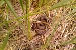 Samečka užovky hladké vyfotila Petra Šolcová ve Starých Purkarticích. Samečci jsou zbarveni víc do hněda, samičky spíš do šeda.