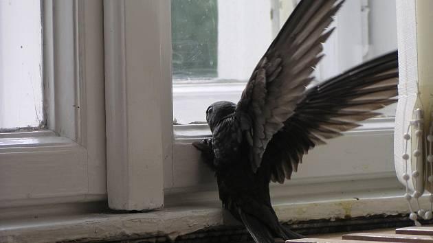 RORÝS je skvělý letec, který ve vzduchu stráví téměř celý život. Při přistání se ale snadno dostane do situace, kdy neumí sám vzlétnout. Pokud nemá viditelné zranění, zkuste rotýse vyhodit do vzduchu, aby nabral výšku a rychlost.