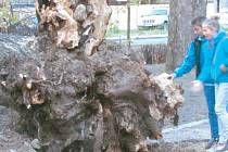Proč se vyvrátila tato lípa, zatímco okolním stromům se nic nestalo? Proč se jí utrhly všechny kotevní kořeny? Souvisí to s pracemi ve Smetanových sadech? Hlavním usvědčeným viníkem je houba dřevomor kořenový neboli spálenka skořepatá.