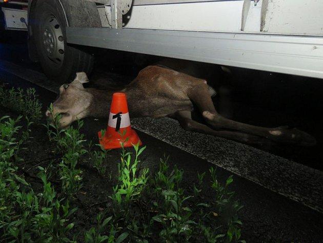 Laň srážku s nákadním autem Peugeotem Boxer nepřežila. Jak dopadla vosa, která v Suché Rudné za jízdy vlétla okýnkem řidičovi Fiatu přímo do obličeje, policie neuvedla.