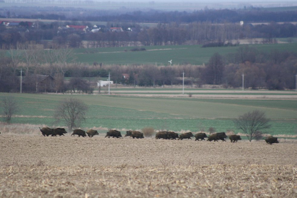 Divočáci se pohybují přes den na dohled od zástavby nebo uprostřed pole, kde jsou kilometry daleko od nejbližšího lesa nebo houští, kde se mohou ukrýt.