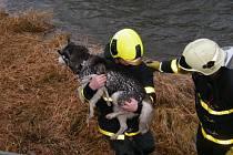 Záchrana fenky plemena husky se jménem Maggie z koryta řeky Opavice, protékající středem Města Albrechtice.