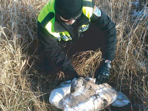 Labutí mládě se motalo v Krnově ve Vrbině kousek od cesty, po které jezdí auta. Strážníci přivolali odborníka ze Střediska ekologické výchovy Krnov, aby rozhodl jak postupovat dál.