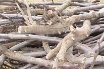 Mezi zahradníky koluje pověra, že ustřižení kořenů při přesazování  stromu pomůže zakořenit. Na Krnovsku se našli sadaři, kteří při zakládání nového sadu ustřižením kořenů zničili výsadbu na mnoha hektarech.