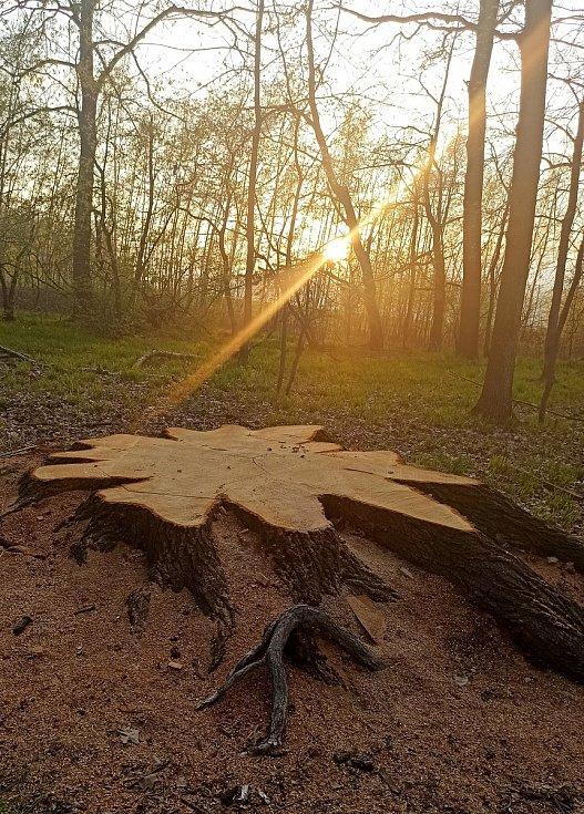 Obří dub u Krnova dnes připomíná už jen pařez. Mimo kořenové náběhy má průměr přes 1,5 metru.